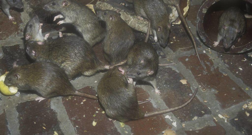 уничтожение крыс в Радужном